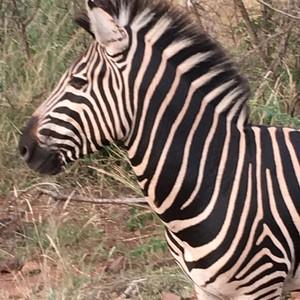 zebra%20encountered%20on%20safari-300?v=1