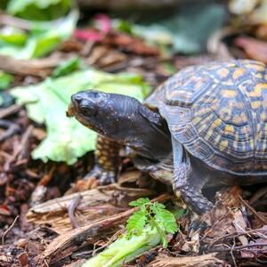 turtle-300?v=1