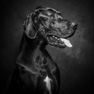 jmillstein-dog-dane-duke01-edit-300?v=2