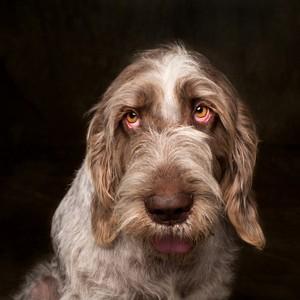 jmillstein-dog-spinoni-italiano02-edit-300?v=2