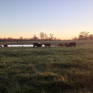 cows%20at%20sunset%20by%20rock%20pond-300?v=1