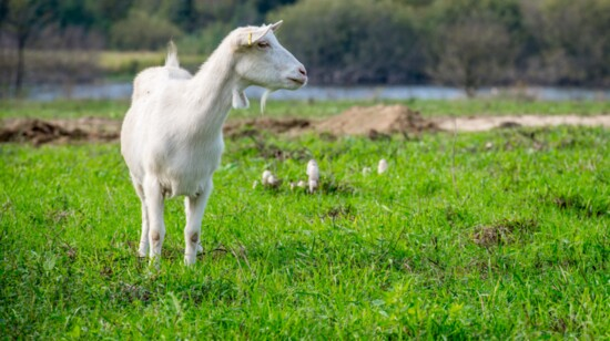 """""""Goat with the Flow"""""""