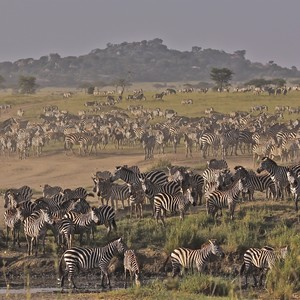 zebras%20landscape-300?v=1