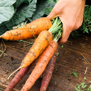 a-mans-hand-picking-up-a-bunch-of-freshly-harvested-carrots_t20_yx0kzx-300?v=1
