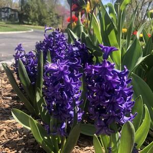 mp_purple%20hyacinth-300?v=1