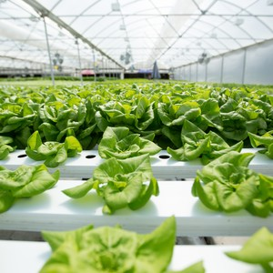lettuce1-300?v=2