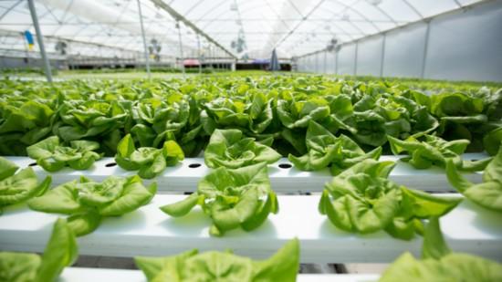 lettuce1-550?v=2