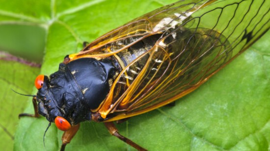 Meet…Brood X Cicadas