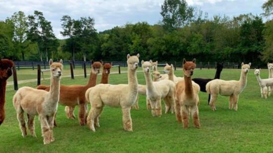 Mistletoe Alpaca Farm is the Perfect Family Fun Day