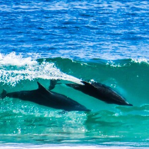 dolphins-300?v=1