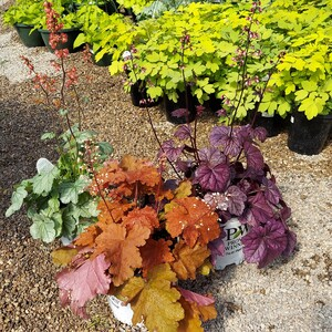 heuchera%20coral%20bells%20grouping-300?v=1