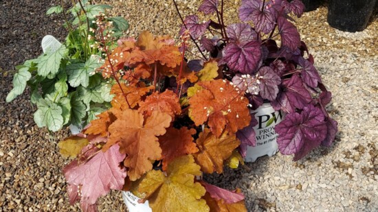 heuchera%20coral%20bells%20grouping-550?v=1