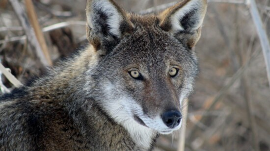 Saint Louis Zoo to Save American Red Wolves