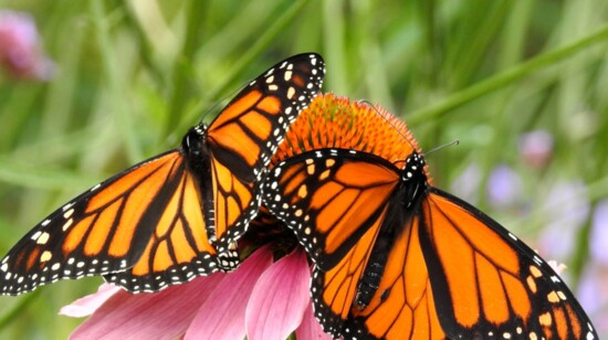 Saving our Monarchs