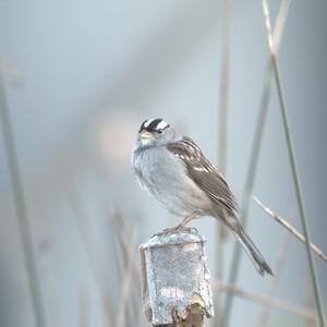 white-crowned%20sparrow%20larry%20brennan-300?v=1