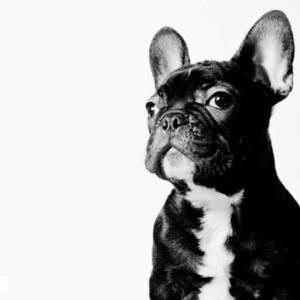 4474815-french-bulldog-wallpapers-300?v=1