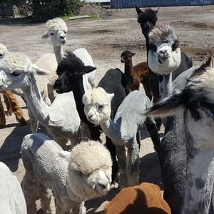 alpaca-header-300?v=1