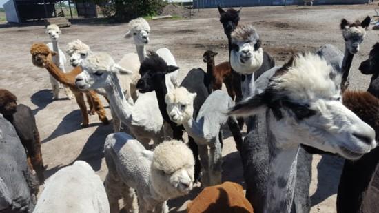 alpaca-header-550?v=1